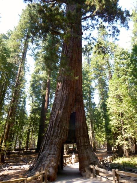 forêt de Sequoia géants